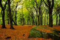 Autumn Beech Woods at Otley Chevin, Lower Wharfedale
