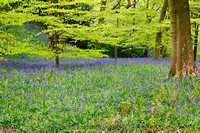 Bluebell Woods near Ilkley, Wharfedale