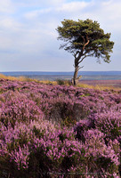 In the Pink, North Yorkshire Moors