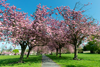 Cherry Tree Walk I