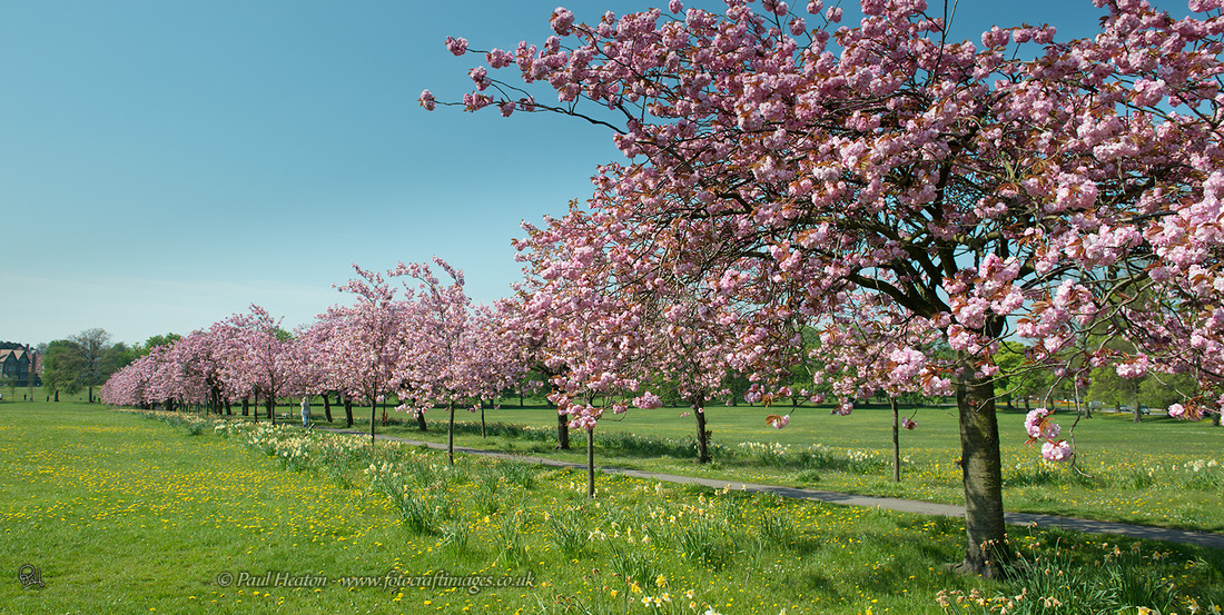 6 cherry tree walk fotocraft images harrogate stray cherry tree walk