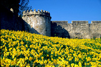 Photograph of York city walls with daffodils
